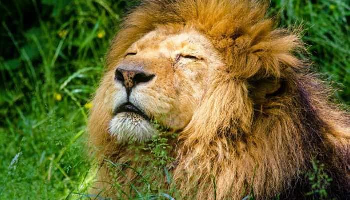 Viral: Lion caught eating grass in Gujarat, video surprises netizens - Watch