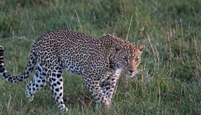 Madhya Pradesh: Leopard captured by forest officials in Junapani village