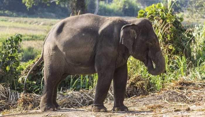 Elephant runs amok at religious procession in Sri Lanka, injures 17