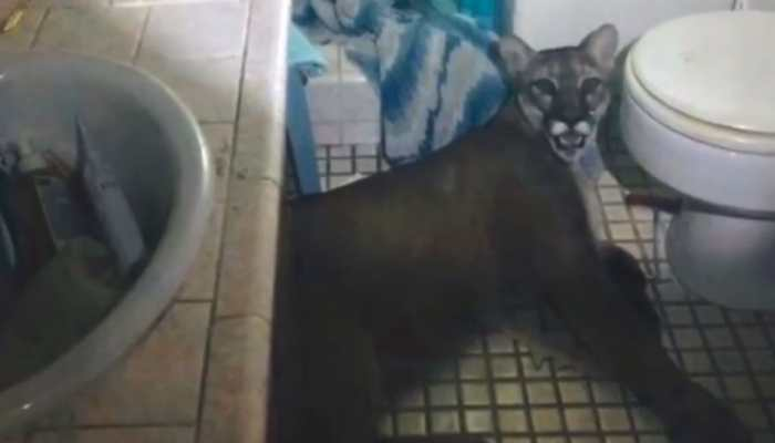 Watch: Mountain lion breaks into California home, leaps from second floor to escape