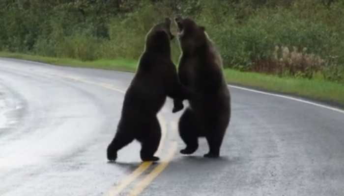 Rare video: Two grizzly bears caught fighting on highway. Seen yet?