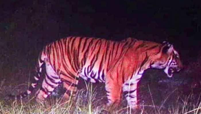 Bandipur man-eating tiger caught in Karnataka after 5 days of search operation