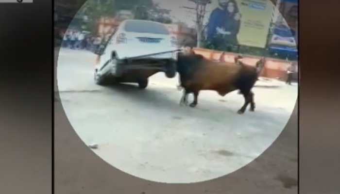 Irked over continous honking, raging bull attacks car in Bihar's Hajipur, driver manages to escape - Watch