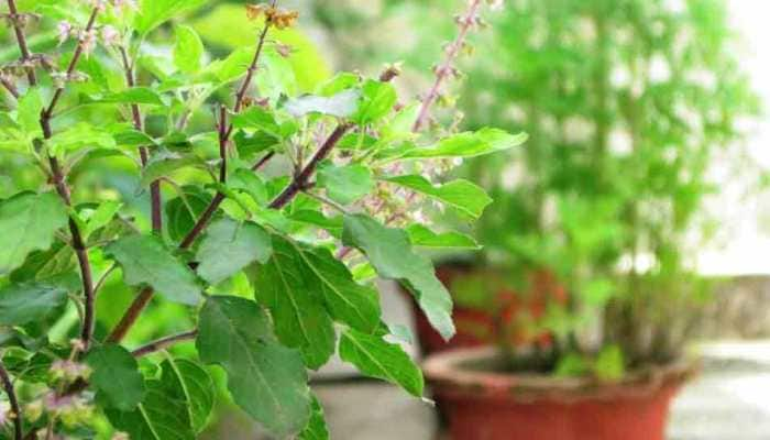 Tulsi Pujan Day: All you need to know