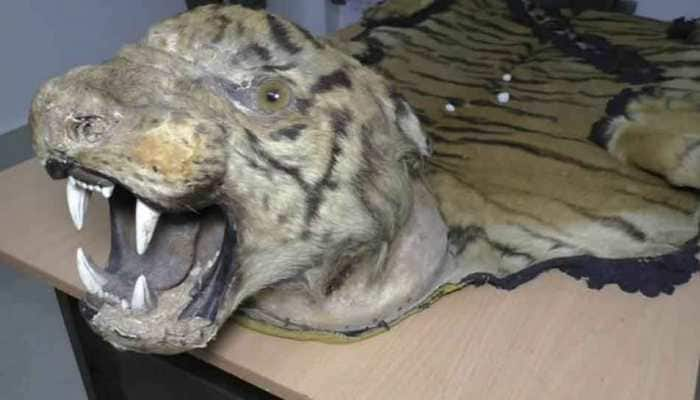 Royal Bengal Tiger skin recovered in Kolkata in joint operation by forest department officials