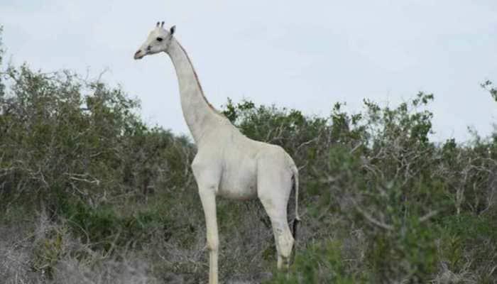 Poachers in Kenya kill 2 rare white Giraffes; social media abuzz with reactions