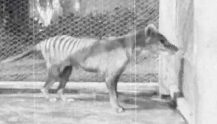 Newly released video is last known footage of Tasmanian tiger 'Benjamin' - Watch