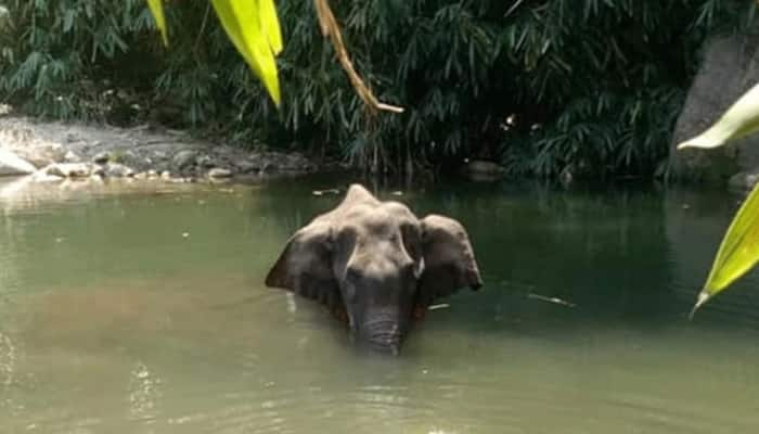 Massive outrage over Kerala pregnant elephant's killing using cracker-filled pineapple, strict action sought