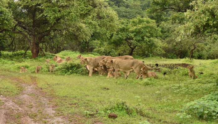 PM Modi shares 'Very Good News' about Asiatic lions in Gir forest