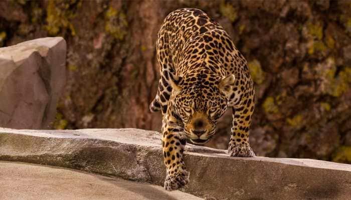 Viral: Jaguar attacks Caiman in water, climbs a cliff dragging it - Watch