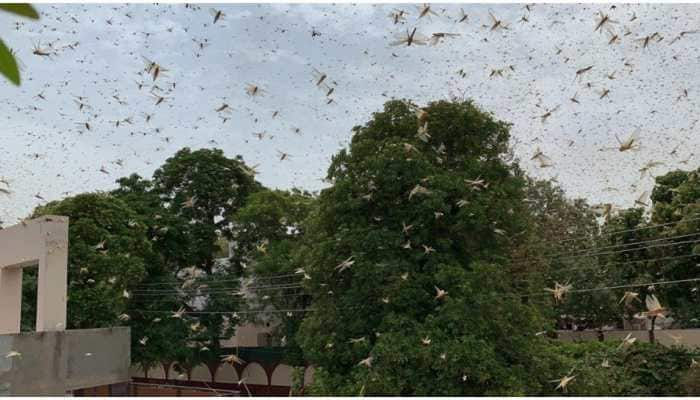 Krishi Vigyan Kendra issues precautionary measures as swarms of locusts arrive in Delhi, neighboring places