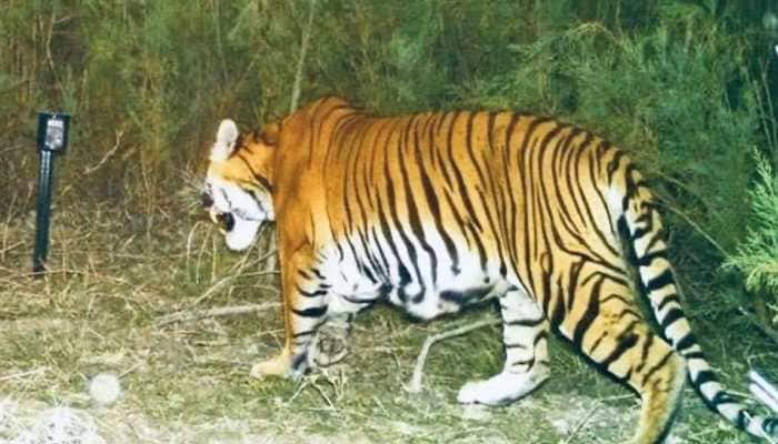 Roar gets louder: First ever camera trap evidence of successful breeding of tigers in Assam's wildlife sanctuary