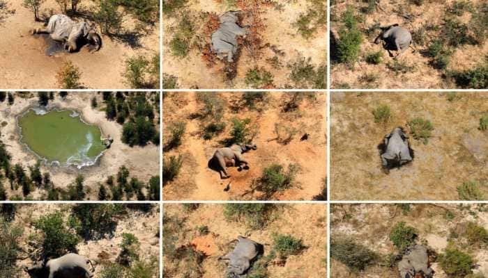 Which bacteria could be behind elephant deaths in Zimbabwe and Botswana?