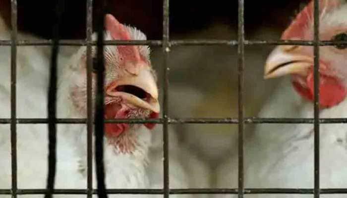 Denmark culls thousands of chickens after finding new bird flu on farm