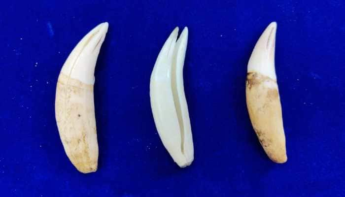 Chennai: Canine tooth of big cats seized from Dubai-origin flight