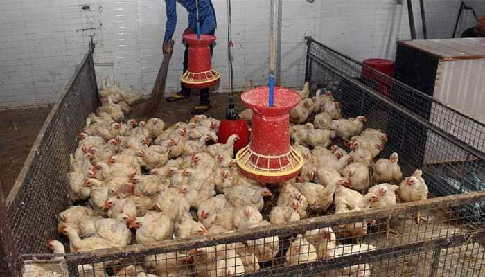 Bird flu outbreak in Maharashtra, 900 hens die at poultry farm