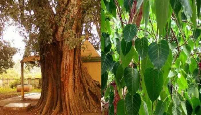 Uttar Pradesh: Patients camp under peepal tree for 'oxygen' after being denied hospital admission
