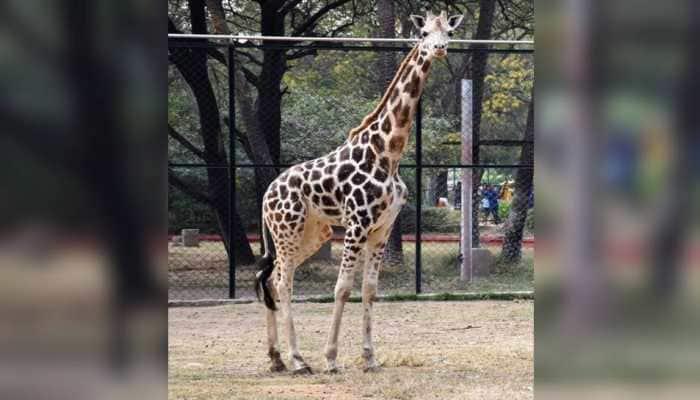 Telangana: Female giraffe Bubli dies of pneumonia at Hyderabad's Nehru Zoological Park