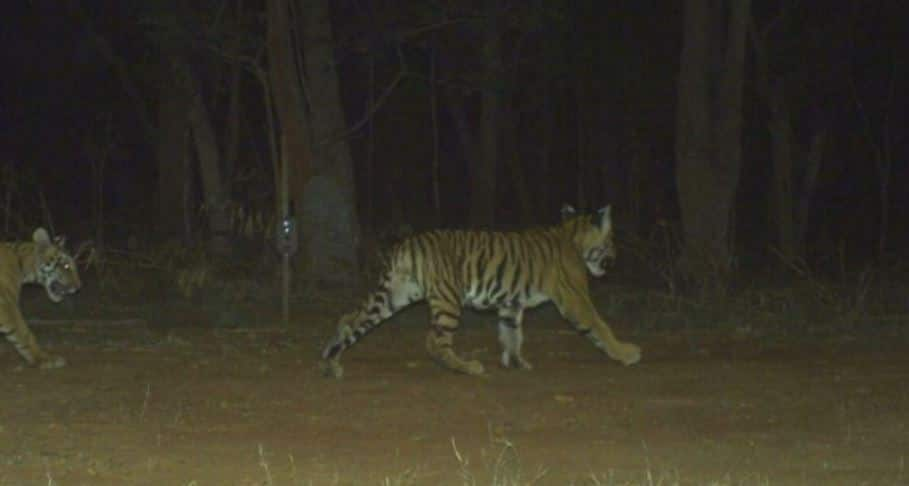 tiger census 2018, tiger census Guinness record